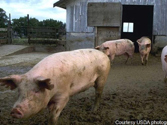 Faculdade de medicina nos EUA não usará mais porcos vivos