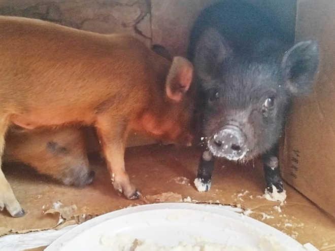 Bebês porquinhos à venda na internet poderiam ter sido usados como iscas para briga de cães