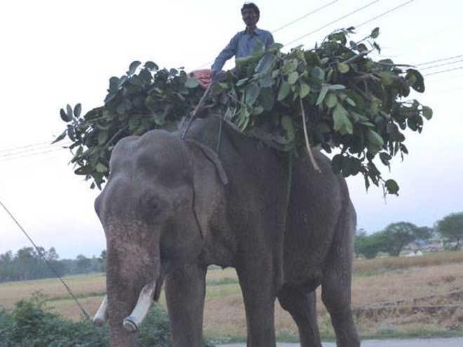 Elefante torturado é resgatado após 50 anos na Índia