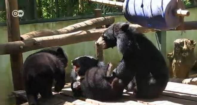 Centro resgata ursos vítimas de tráfico em Laos