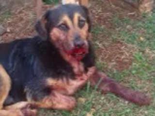 Crianças usam bombinha para explodir boca de cachorro em Cascavel, PR