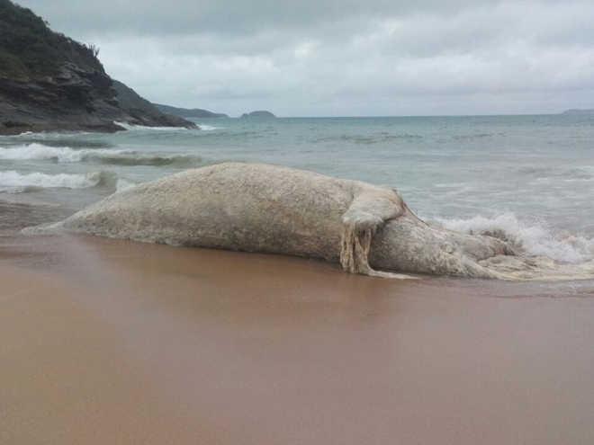 Baleia encontrada morta é enterrada na Praia das Caravelas, em Búzios, RJ