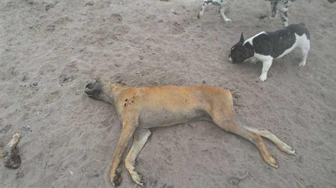 Operação estoura canil clandestino em Rio das Ostras (RJ); animais são encontrados mortos