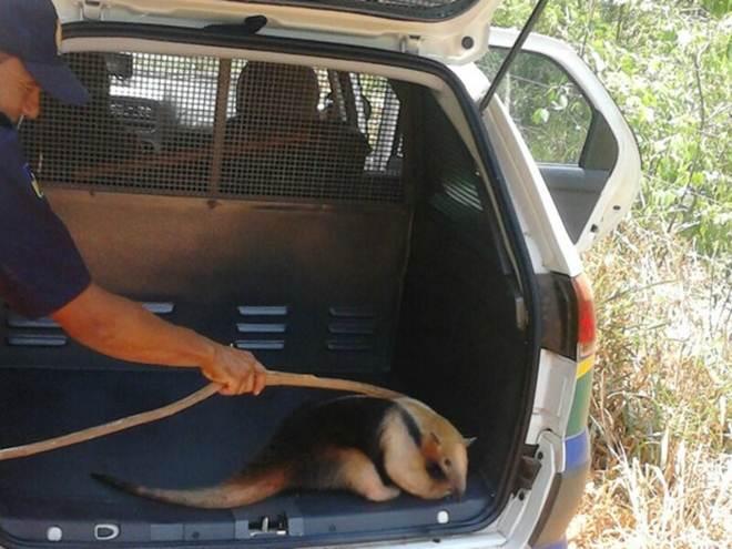 Tamanduá-mirim é capturado em residência de Alto Alegre dos Parecis, RO
