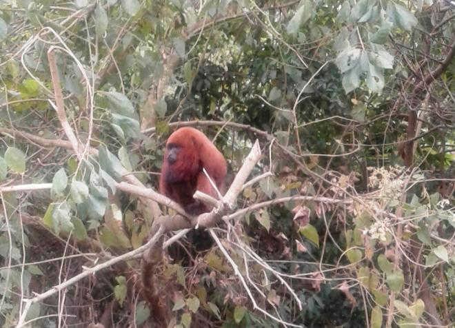 Macaco bugio desperta a atenção de vizinhança em Criciúma, SC