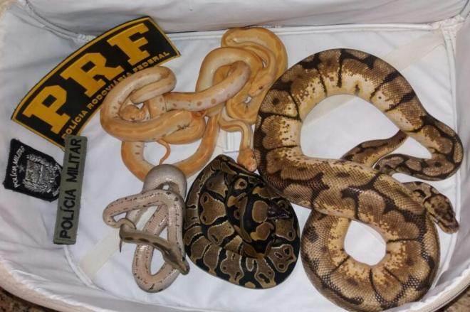 Homem é flagrado transportando sete serpentes exóticas dentro de mala em Santa Catarina