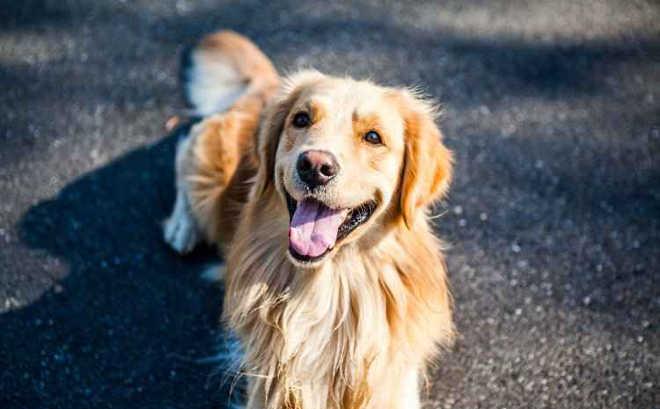 Cães 'conversam' pelo olhar e sabem se estamos prestando atenção