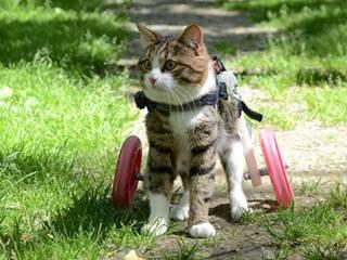 Um gato adorável com deficiência e uma doninha fazem companhia um ao outro