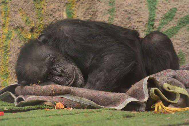 Em decisão judicial inédita, chimpanzé Cecilia será trasladada da Argentina para o Brasil