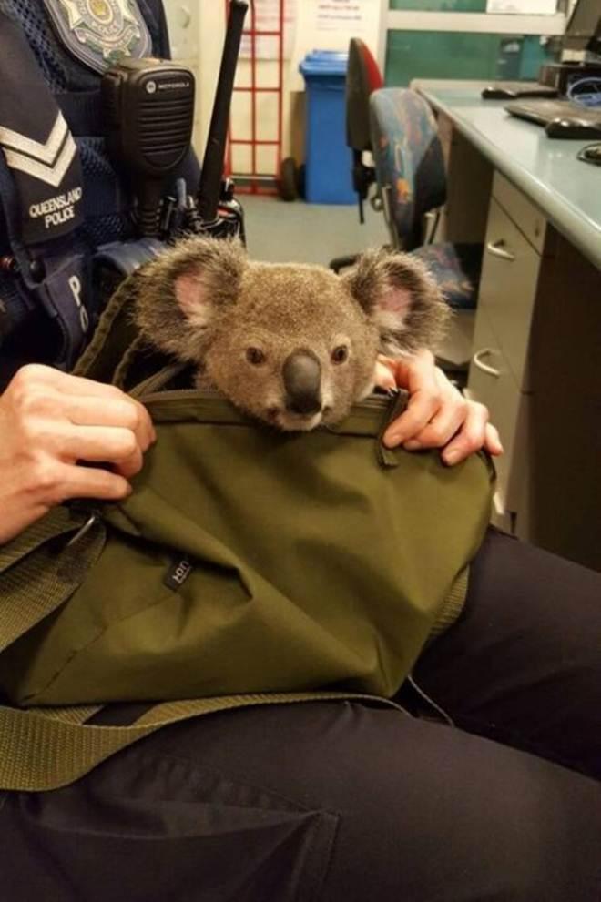 Mulher é presa após esconder coala em bolsa