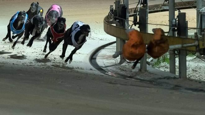 Acovardou-se: Estado australiano volta atrás na proibição de corrida de galgos