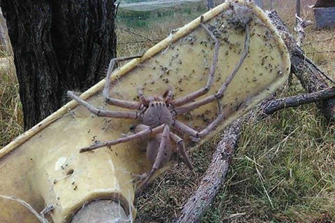 Aranha do tamanho de um cachorro é resgatada por santuário de animais