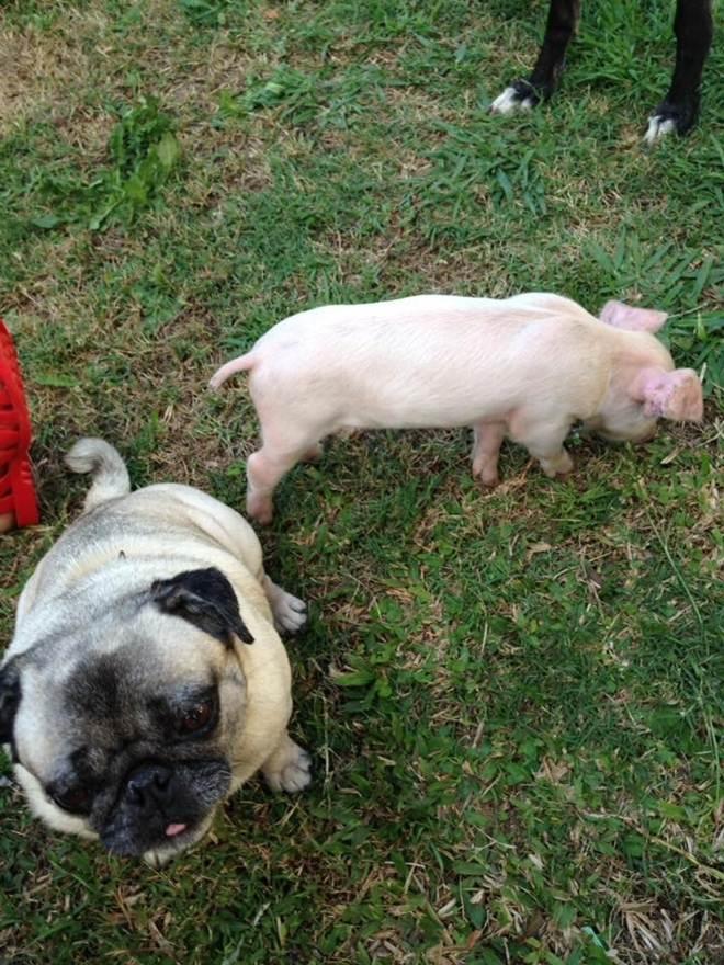 Porquinha resgatada de fazenda industrial agora pensa que é um cachorro