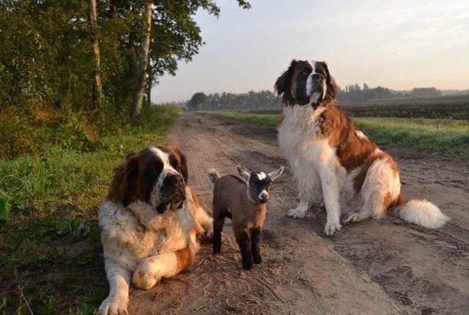 Casal de cães adota filhote de cabra abandonada