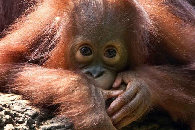 Orangotango resgatado após passar seis meses preso numa cozinha