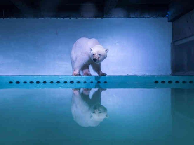 'Urso polar mais triste do mundo' deixa jaula em shopping da China