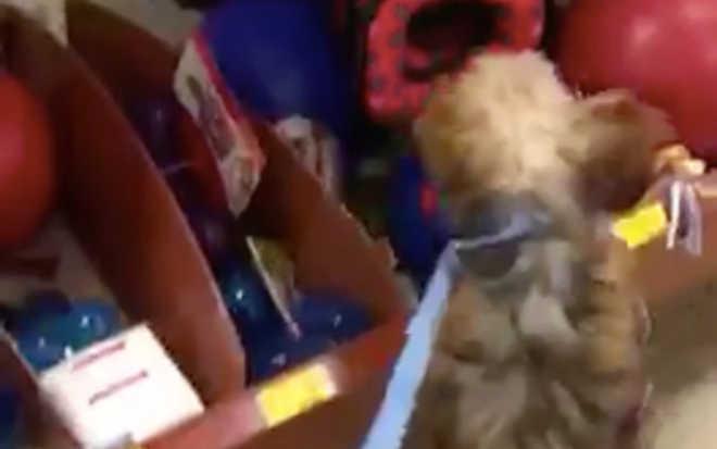 Cadelinha que passou quase toda a vida numa horrível fábrica de filhotes escolhe seu primeiro brinquedo
