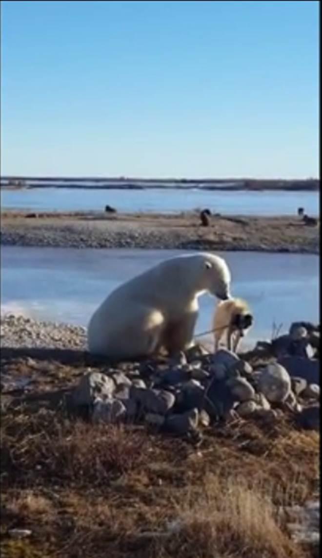 Vídeo ternurento de urso polar e cão tem afinal fim (muito) trágico