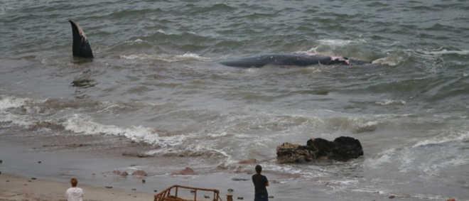 Pescadores e residentes salvam baleia encalhada em praia no Chile
