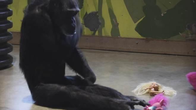 Esta chimpanzé de laboratório nunca pôde ficar com seus bebês, então agora ela cuida de bonecas