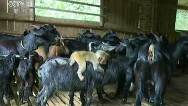 Filhote de macaco é adotado por rebanho de cabras na China