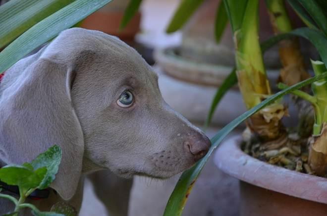 Conheça as plantas capazes de intoxicar seu animal