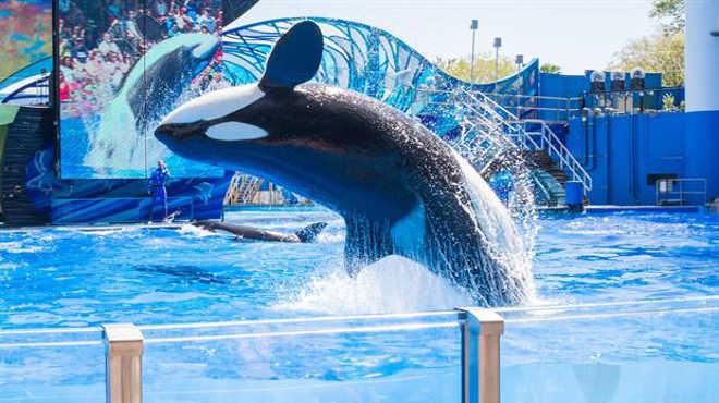 Shows de orcas, golfinhos e outras espécies marinhas serão ilegais na Califórnia