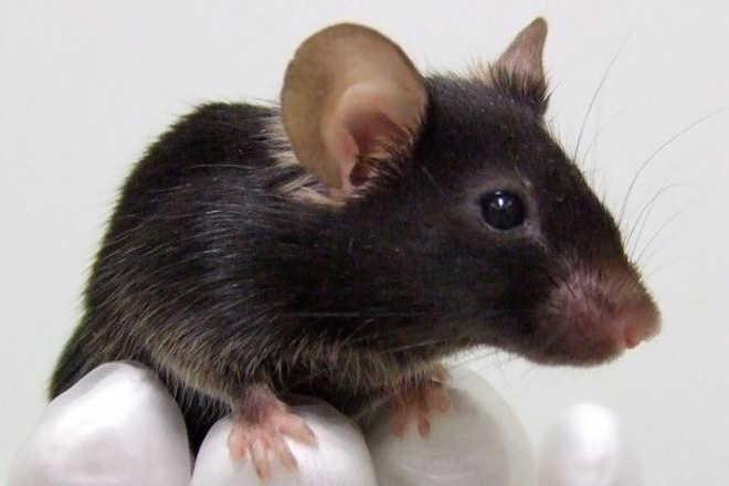 Cientistas criam coração impresso em 3D que substitui testes em animais