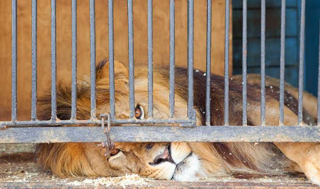 Qual a diferença entre um santuário de grandes felinos verdadeiro e um santuário abusivo?