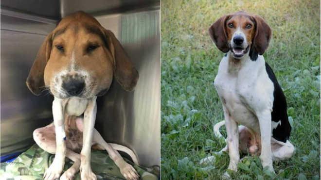 Cão encontrado com a cabeça incrivelmente inchada se recupera e ganha um novo lar