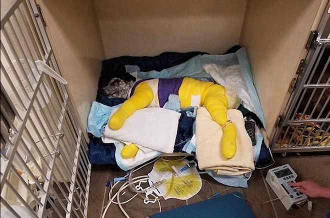 Cachorro fica com o corpo engessado após ser amarrado e arrastado por caminhão