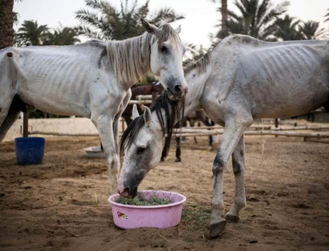 Ela veio passear nas pirâmides do Egito, mas acabou ficando para cuidar dos cavalos feridos