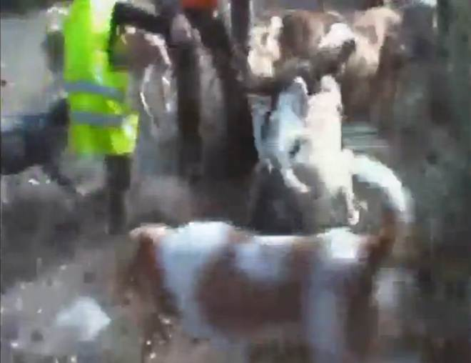 Vídeo: Um pai incita a uma criança a participar da violenta caça de um javali com cães