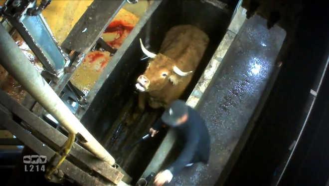 ONG denuncia abate de vacas em final de gestação por matadouro da França