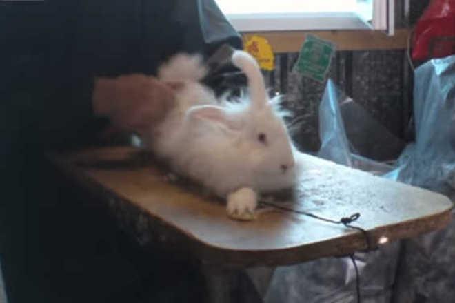 Um impactante vídeo revela a crueldade a que são submetidos os coelhos pelos comerciantes de peles