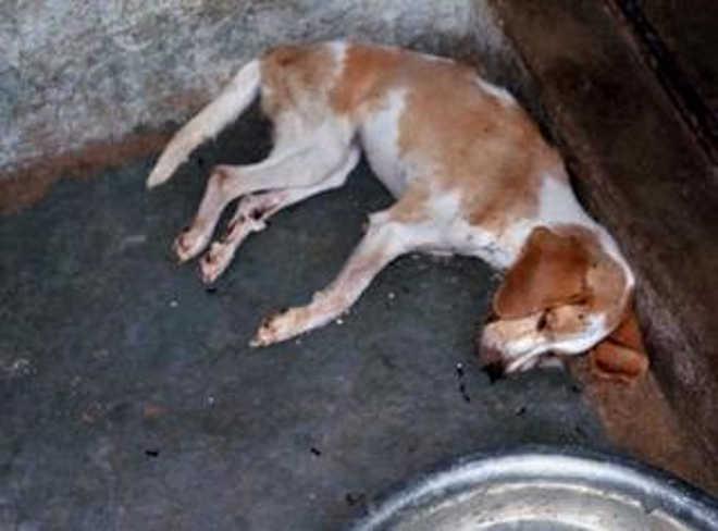 Cães acorrentados morreram de fome em canil na Índia