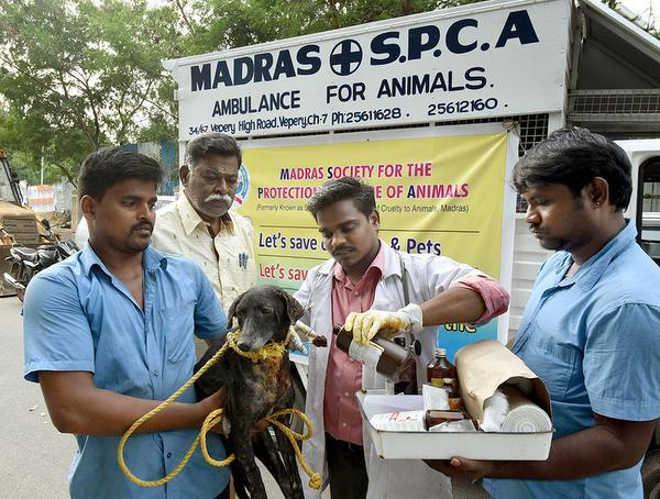 Ativistas resgatam animais que sofreram queimaduras no festival Deepavali, na Índia