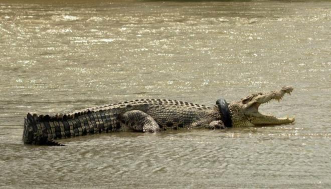 Imenso crocodilo sofre há dois meses com pneu no pescoço