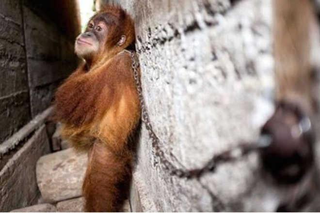 Orangotango bebê vivia preso entre duas paredes