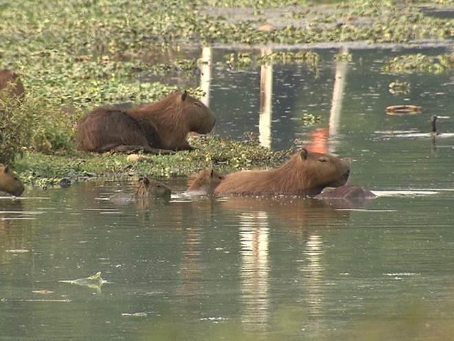 Capivaras ficarão isoladas perto do Parque Ecológico da Pampulha