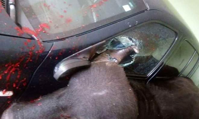 Búfalo invade hotel em Sabará (MG) e é morto pela PM