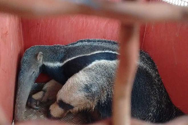 Tamanduá é capturado pelo Corpo de Bombeiros em escola de Patos de Minas, MG