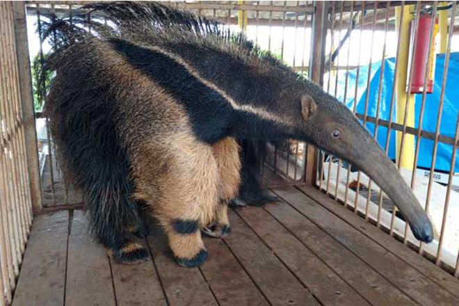 PM de Meio Ambiente captura cinco animais silvestres em Uberlândia, MG