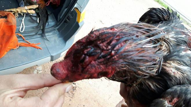 Seis pessoas são detidas por promoverem rinha de galo em Vargem Alegre, MG