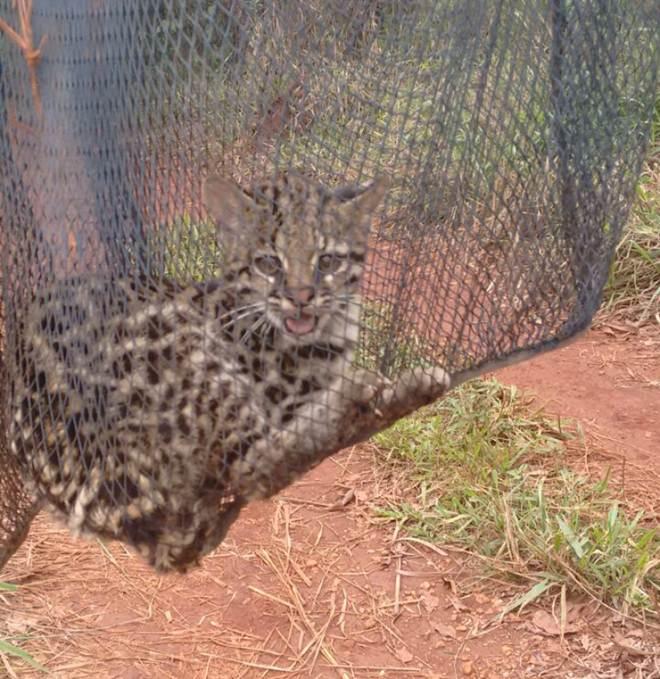Gato-do-mato é capturado pela Polícia Ambiental em Vazante, MG
