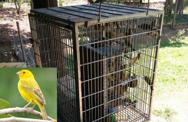 Polícia Ambiental fecha o cerco contra traficantes de aves silvestres em Aparecida do Taboado, MS