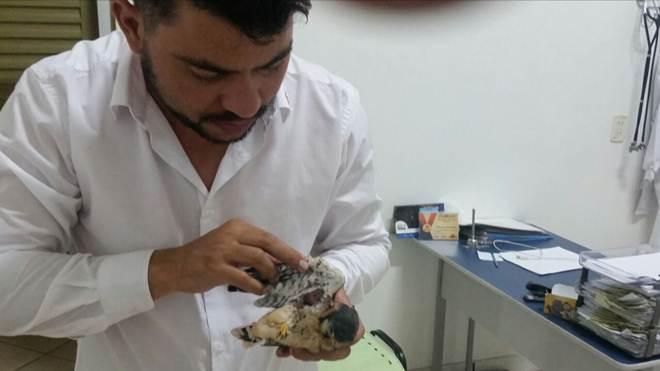 Filhote de gavião vítima de ataque de cachorro é resgatado com asa quebrada em Ponta Porã, MS