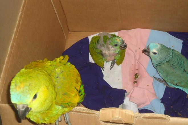 Transporte de filhotes de papagaios em Três Lagoas, MS