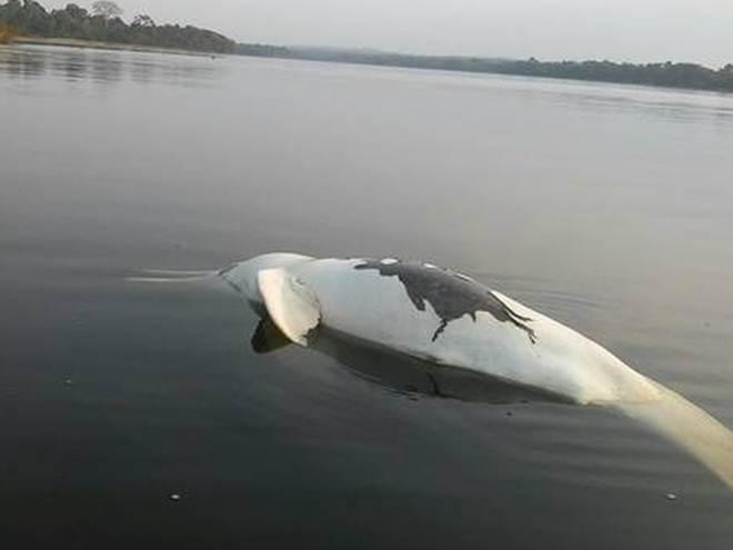 Índios acham boto, peixes e cágado mortos após vazamento de óleo no Rio Teles Pires, no PA