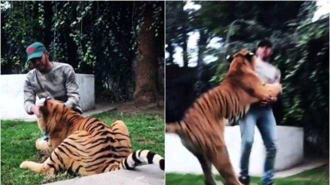 Piloto de F1 Lewis Hamilton brinca com tigre, mas leva vários sustos